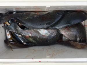 北九州の広吉さん、クロ釣りを楽しんだ