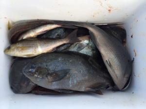 大分の伊東さん、クロ釣りを楽しんだ
