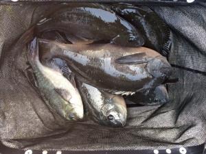 北九州の田中さん、47cmクロ含めて数釣りを楽しんだ