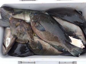 中津の上野さん、クロの数釣りを楽しんだ