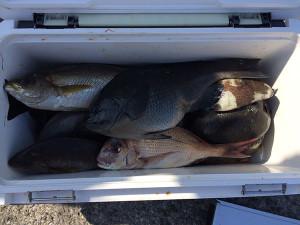大分の佐土原さん、クロ、イサキ、カワハギなど数釣りを楽しんだ