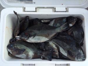 中津の上野さん、クロ釣りを楽しんだ