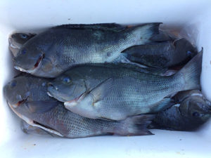 豊後大野の後藤さん、クロ釣りを楽しんだ