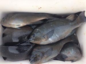 北九州の西さん、クロ釣りを楽しんだ